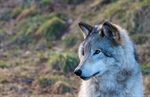 Two Wolf Murders Just The Beginning Of  Extermination By Washington State Officials