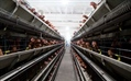 This Chicken Abuse Video Will Leave You Disgusted at One Giant Food Corporation
