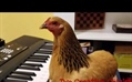 A Musically-Gifted Chicken Plays 'America the Beautiful' on the Keyboard