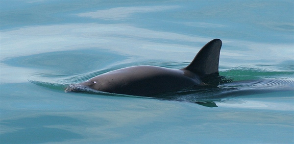 The World's Most Endangered Marine Mammal is Going Extinct