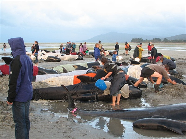 Over 300 Pilot Whales Dead from Mass Beaching in New Zealand
