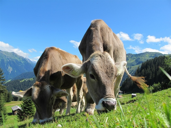 A New Diet for Cows May Decrease Methane Gas Emissions