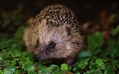 It's Time to Re-Wild Green Spaces with Hedgehogs