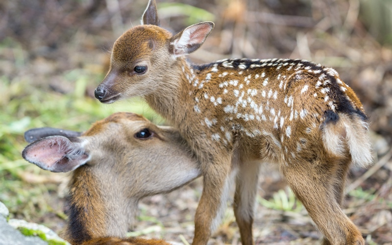 /Portals/0/EasyDNNRotator/733/News/aid1455bigstock-Fawn-and-mom-deer-licking-foc-111863468.jpg