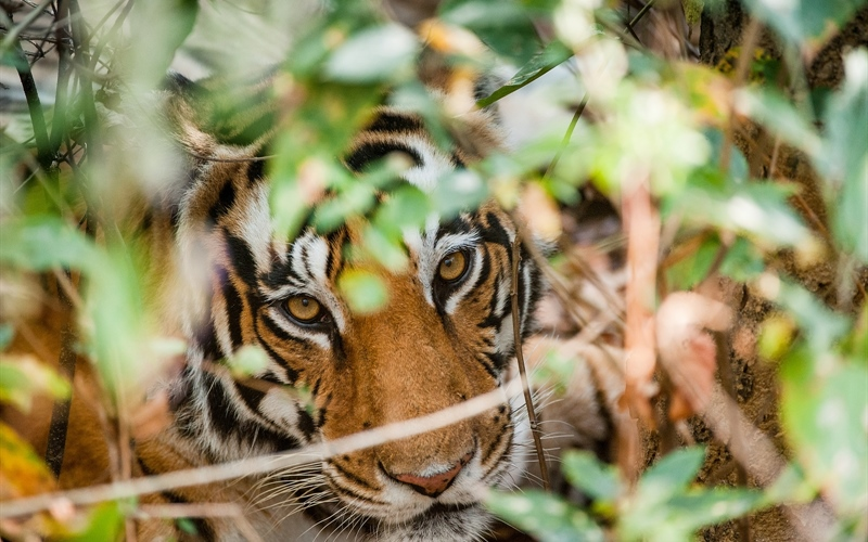 /Portals/0/EasyDNNRotator/733/News/aid1466bigstock-Portrait-Of-A-Tiger-In-Bushes--113985779.jpg