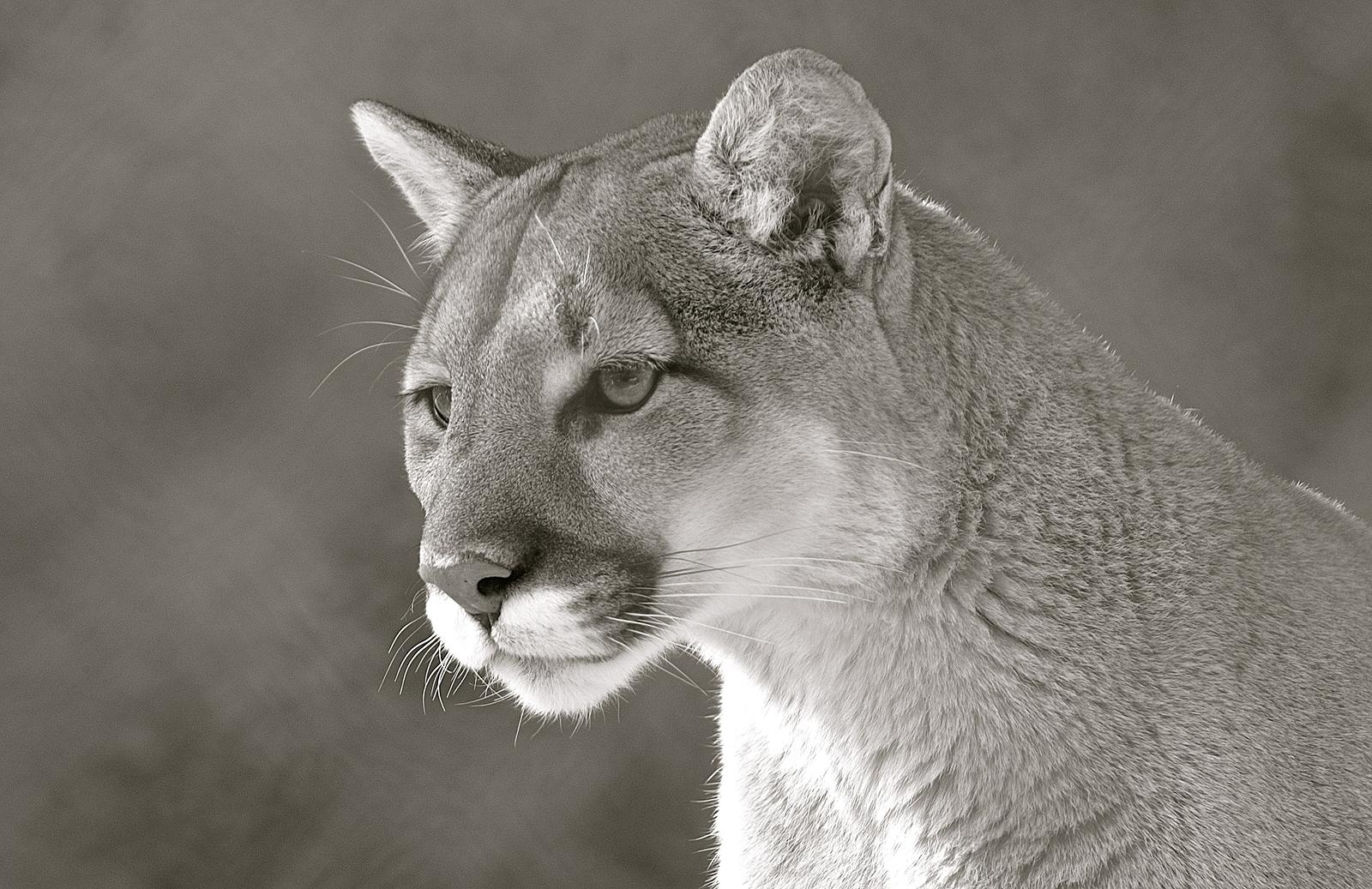 cougar mexico